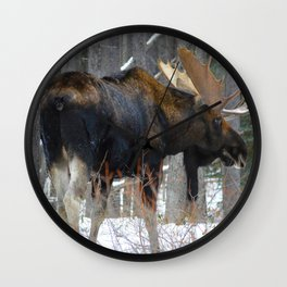Massive male moose on the loose in Jasper National Park Wall Clock