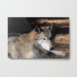 The Eyes of a Wolf Metal Print