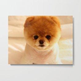 Adorable Pomeranian Puppy Metal Print