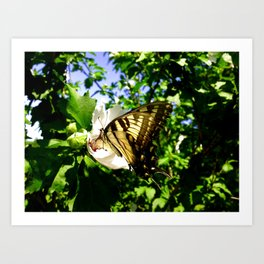 Swallowtail Butterfly Inside Hibiscus Blossom Art Print
