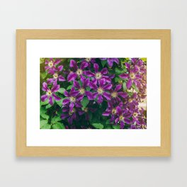 Many large purple clematis flowers on a background of green leaves. Framed Art Print