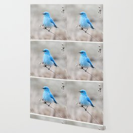 Mountain Bluebird on the Tansy Wallpaper