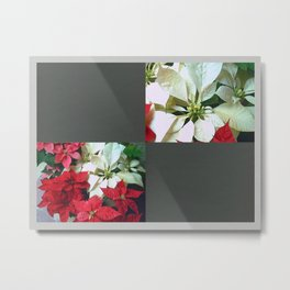 Mixed color Poinsettias 1 Blank Q6F0 Metal Print