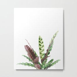 Calathea lancifolia Metal Print