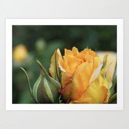 Orange Rose with Bud Art Print