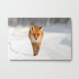 Red Fox in a White World Metal Print