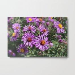 Autumn Amethyst - New England Aster flowers Metal Print