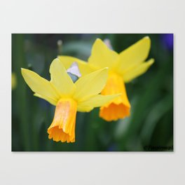Blooming Daffodil Canvas Print