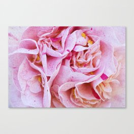 Strawberry Blonde Camellia Canvas Print