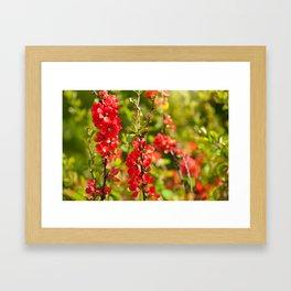 Chaenomeles shrub red flowering Framed Art Print