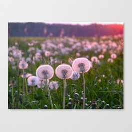 Dandelions in the sunset light Canvas Print