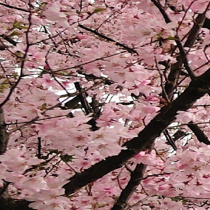 cherry blossoms Leggings