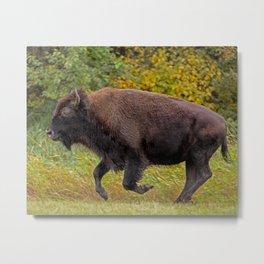 bison on the run Metal Print