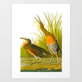 Salt Water Marsh Hen Art Print