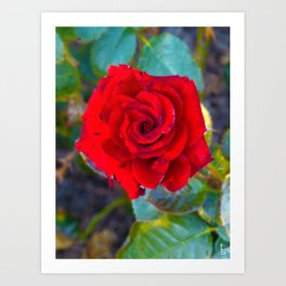Red Rose II Art Print