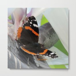 Red Admiral on a White Bird of Paradise Bloom Metal Print