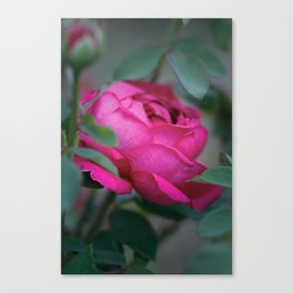 Romantic Pink (Magenta) Rose - Symbol of Love Canvas Print