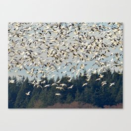 Snow Geese in the Skagit Valley in Washington State Canvas Print