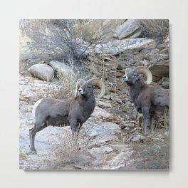 Watercolor Sheep, Bighorn Ram 22, Drake, Colorado Metal Print