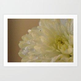 Soft Chrysanthemum Flower Art Print