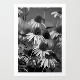 Cone Flower Echoes In Black & White Art Print