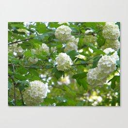 Hydrangea in Spring Canvas Print