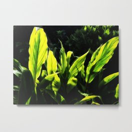 Ginger leaves in the Sun wet with rain Metal Print