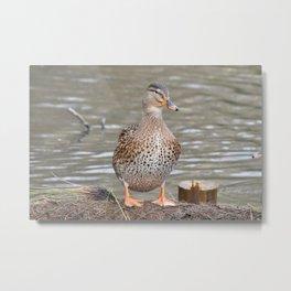 Curious Mallard Duck Metal Print