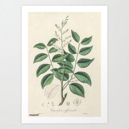 Vintage Botanical Print - 1836 - Diesel tree (Copaifera officinalis) Art Print