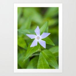 Purple wildflower Vinca difformis Art Print