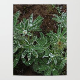 Wet Lupine Poster