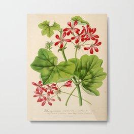 Pelargonium Hederifolium Vintage Botanical Floral Flower Plant Scientific Illustration Metal Print