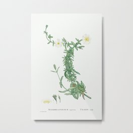 Mesembryanthemum expansum (Iceplant) from Histoire des Plantes Grasses (1799) by Pierre-Joseph Redou Metal Print