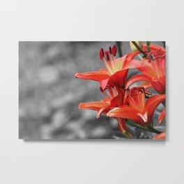 Orange Lily Flower Blossom, Lilium Digital Photography Close up, Black and White Background Metal Print