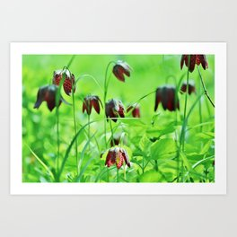 Chequered lily Fritillaria Meleagris Art Print