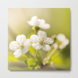 Beautiful cherry blossom on a vivid green background - summer atmosphere Metal Print