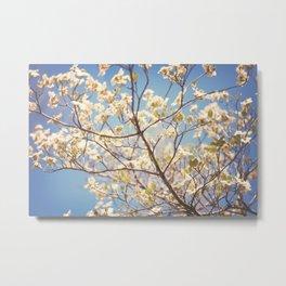 Dogwood Tree - Spring Flowering Tree Photography Metal Print