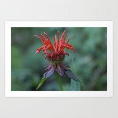 Scarlet Bee Balm {Monarda didyma L.} Art Print
