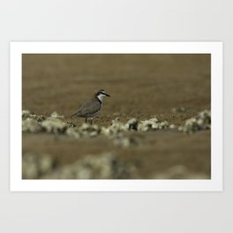 Red-Capped Plover Art Print
