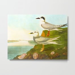 Havell's Tern and Trudeau's Tern Metal Print