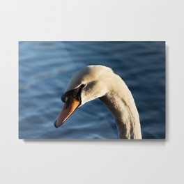 Swan in the afternoon Metal Print