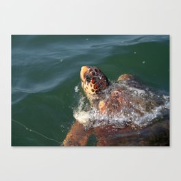 Loggerhead Turtle (Caretta Caretta) Breaking The Sea Surface Canvas Print