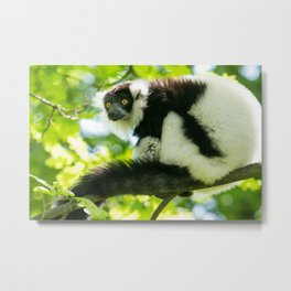Black-and-white Ruffed Lemur Metal Print