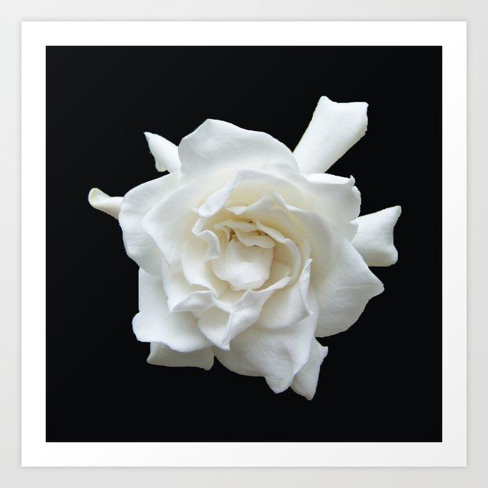 Gardenia on Black DPG150524 Kunstdrucke