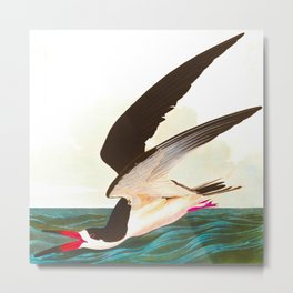 Black Skimmer or Shearwater Bird Metal Print