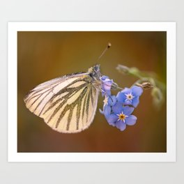 White and cream butterfly on forget-me-not flowers Art Print