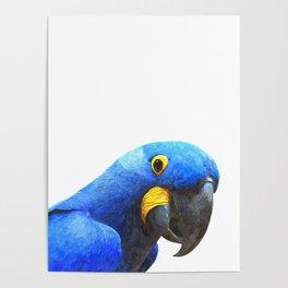 Blue Parrot Portrait Poster
