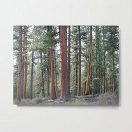 Ponderosa Pine Forest Metal Print