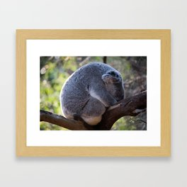 Sleeping Australian Koala, Curlewis, NSW Framed Art Print