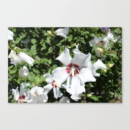 Boston White and Red Flowers Canvas Print